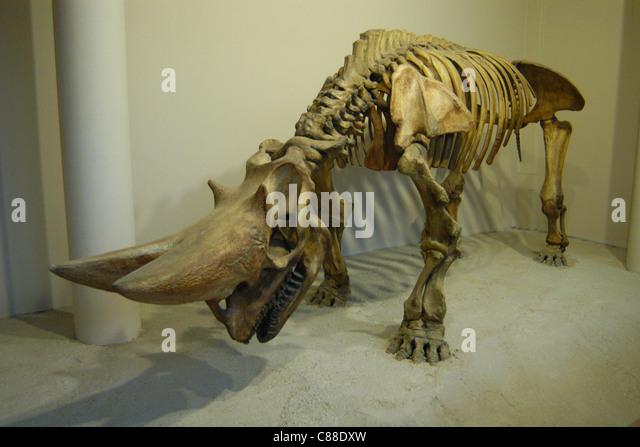 Skeleton of an extinct arsinoitherium (Arsinoitherium zitteli) seen at the Natural History Museum in London, England, - Stock Image