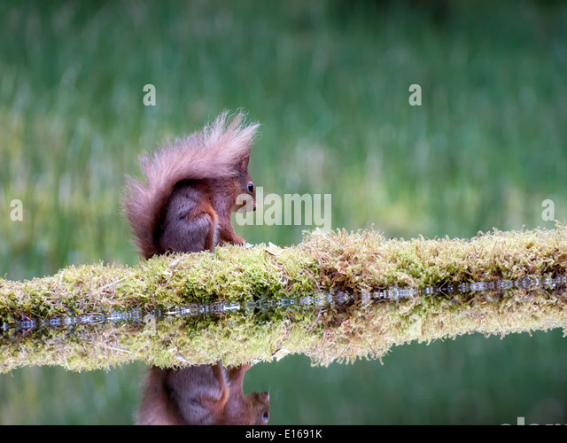 A red squirrel ( Sciurus vulgaris ) and its reflection in a drinking pool - Stock Image