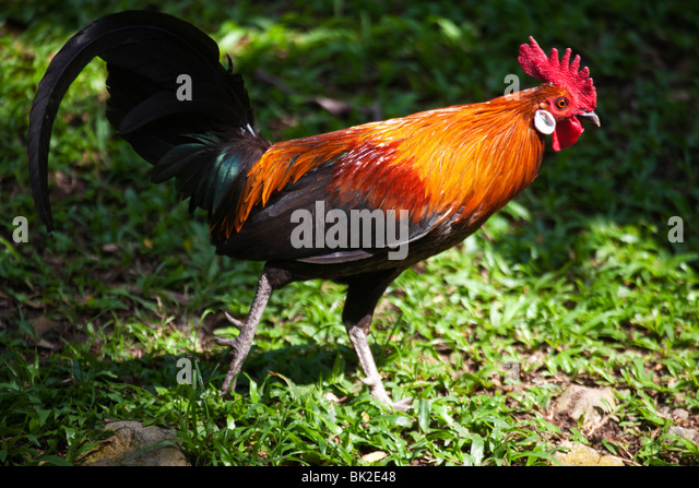 Jungle fowl rooster wild rooster Malaysia - Stock Image