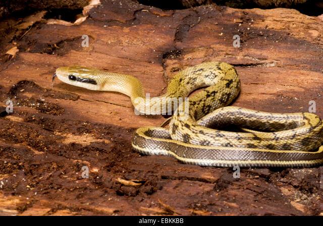 Taiwan beauty snake, Beauty Snake (Elaphe taeniura, Orthriophis taeniurus taeniurus), rolled-up - Stock Image