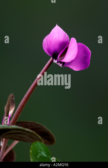 Cyclamen (Coum) with nice defuse background potton bedfordshire - Stock Image