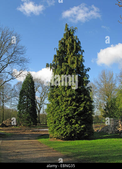 Lawson cypress, Port Orford cedar (Chamaecyparis lawsoniana), tree in a park, Gigant Sequoia in the background, - Stock Image