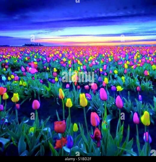 Flowers, Tulips - Stock Image