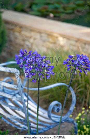 IRON BENCH AND BLUE AGAPANTHUS IN THE DORSET WATER LILY GARDEN  HAMPTON COURT PALACE FLOWER SHOW 2008  DESIGNED - Stock Image