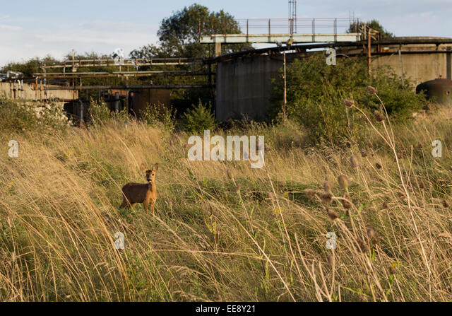 Young Deer in an Urban Wasteland - Stock Image