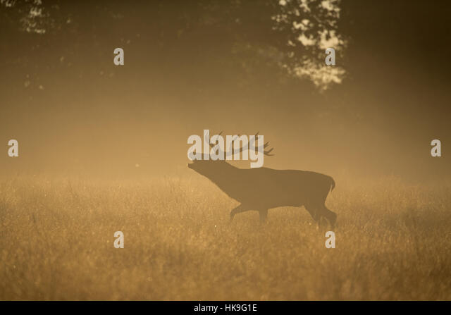 Red Deer (Cervus elaphus) stag, roaring in misty dawn during rut, Bushy Park, Richmond Upon Thames, London, England, - Stock-Bilder