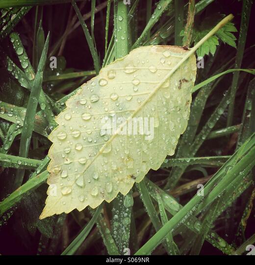 Raindrops on fallen Leaves, Olympic Peninsula, Washington - Stock Image