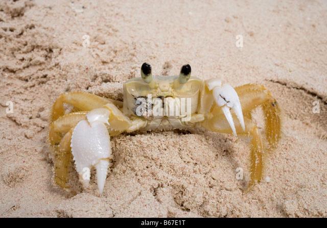 Atlantic ghost crab, Ocypode quadrata, photographed in the Dominican Republic - Stock Image