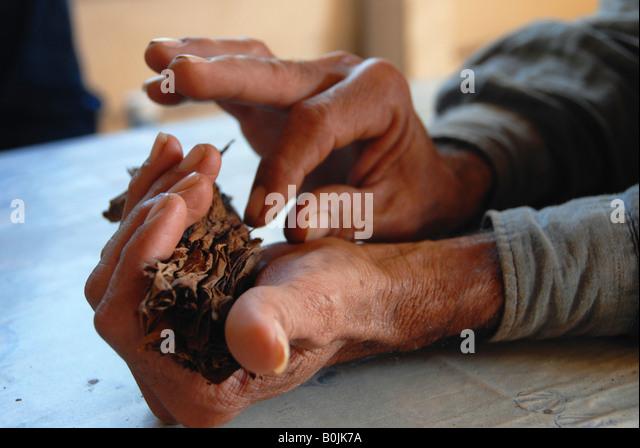 Hands of a tobacco farmer rolling a cigar Valle de Vinales Cuba - Stock Image