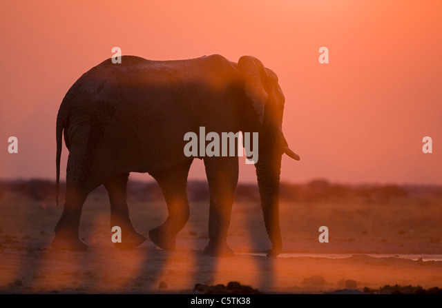 Africa, Botswana, African Elephant (Loxodonta africana) at sunset - Stock-Bilder