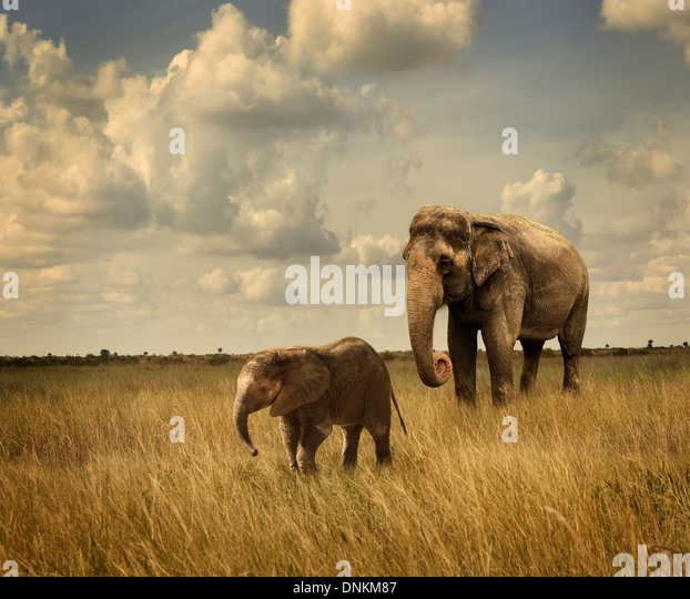 Mother And Baby Elephants Walking - Stock Image