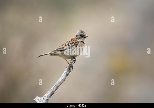 A Rufous-collared Sparrow (Zonotrichia capensis australis) in Torres del Paine, Chile - Stock Image