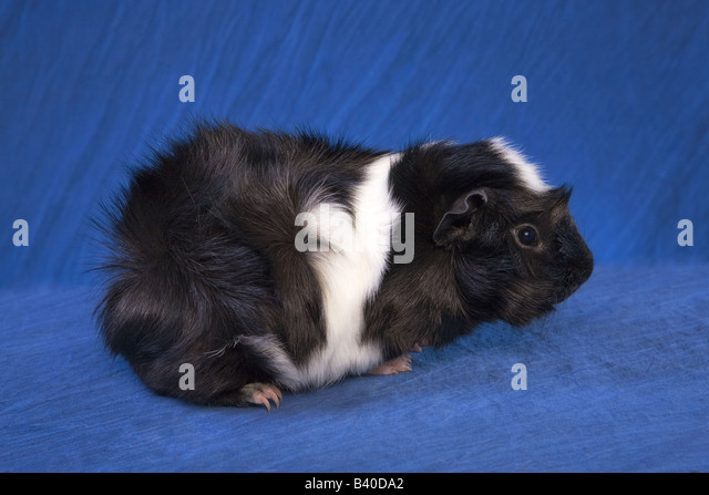Cute Black and white Abyssinian Guinea pig or Cavy on blue background - Stock Image