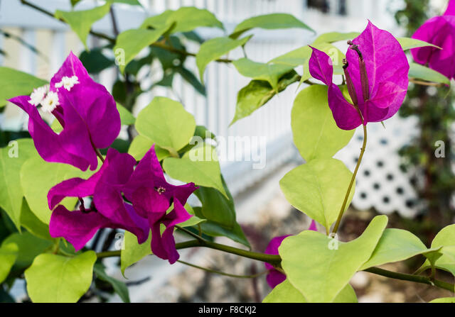 Bougainvillea growing near a white fence in Christiansted, St. Croix, U.S. Virgin Islands. - Stock Image