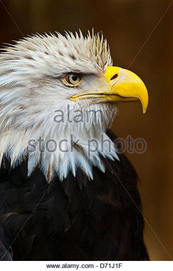 Bald eagle (Haliaeetus leucocephalus), Deer Mountain Tribal Hatchery and Eagle Center, Ketchikan, Alaska USA - Stock Image