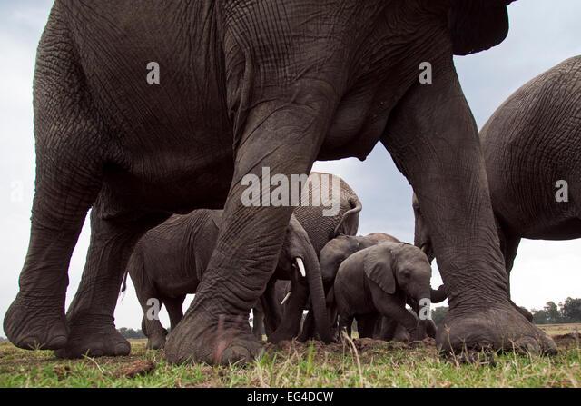 African elephant (Loxodonta africana) herd at waterhole calves seen between adults legs. Masai Mara National Reserve - Stock Image