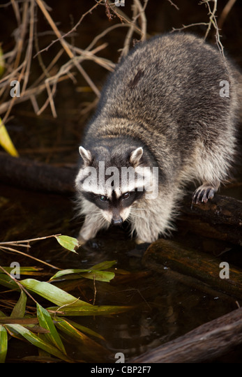 Raccoon in Stanley Park in Vancouver - Stock Image