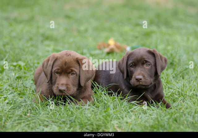 Two Labrador Retrievers, puppies lying in a meadow next to each other - Stock Image