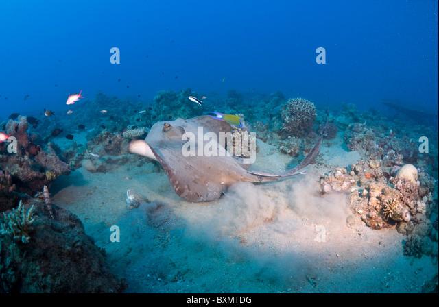 Stingray, Nuweiba, Egypt - Stock Image