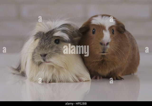 Beautiful Guinea pigs breed Golden American Crested and Coronet cavy - Stock Image