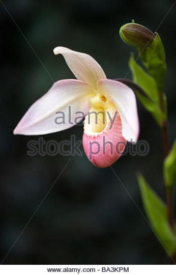 Phragmipedium 'Elizabeth March'. Slipper orchid - Stock-Bilder