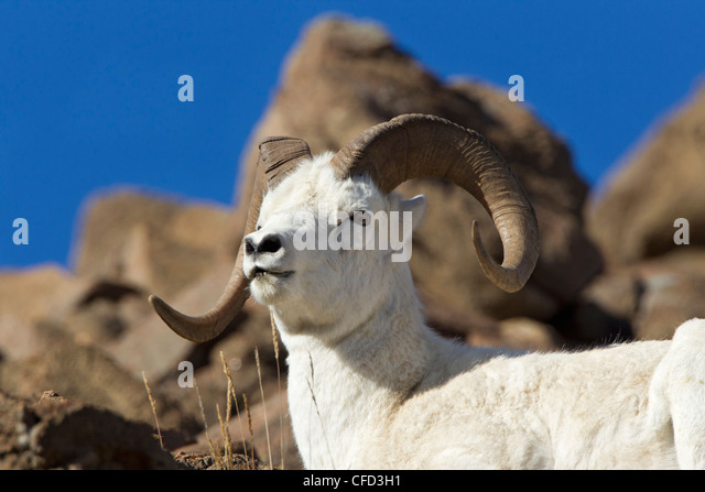 Dall sheep (Ovis dalli dalli), ram, Polychrome Pass, Denali National Park, Alaska, United States of America - Stock Image