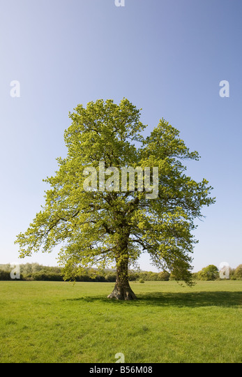 Oak tree in summer - Stock Image