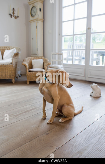 Dog sitting on living room floor - Stock Image
