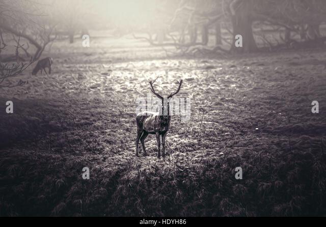deer stag,nature,wilderness,magic,artistic,big animal,charging - Stock Image