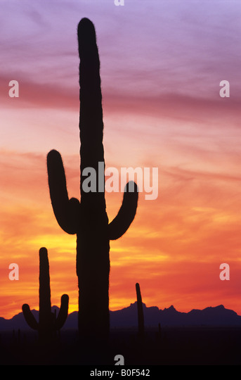 Saguaro cactus against dramatic sunset sky, Saguaro National Park, Arizona  USA - Stock Image
