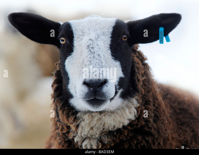A portraits of a zwartbles, a sheep with a white and black face. - Stock Image