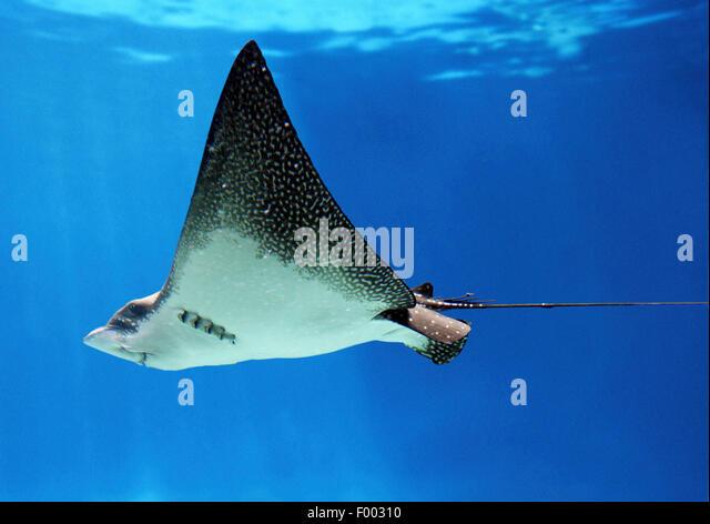spotted eagle ray (Aetobatus narinari), swimming, Ecuador, Galapagos Islands - Stock Image