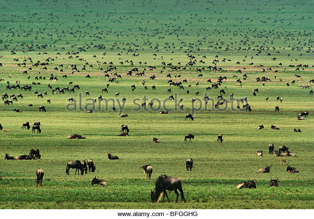 Wildebeests grazing, Connochaetes sp., Serengeti National Park, Tanzania - Stock Image