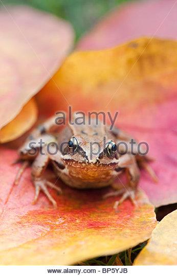 Common garden Frog 'Rana Temporaria' sitting on colourful autumn tree leaves - Stock Image