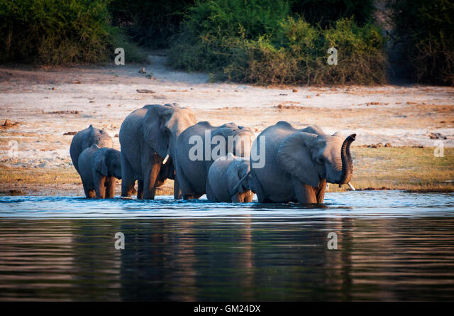 Herd of elephants cub crossing Chobe River, Chobe National Park, in Botswana - Stock Image