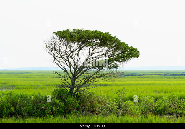 A single wind swept live oak tree stands tall over the saltwater marsh and cordgrass near Garden City and Murrells - Stock Image