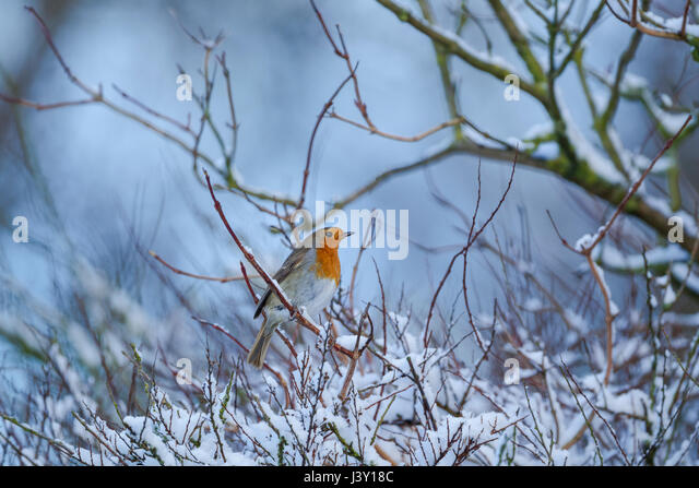 European robin, Latin name Erithacus rubecula, perched among branches of a bush with some snow around - Stock Image