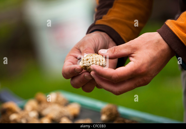 A man examines a freshly picked morel mushroom in Montana. - Stock Image
