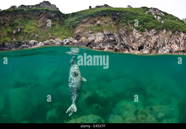 Atlantic grey seal (Halichoerus grypus) resting vertical beneath the surface, Lundy Island, Devon,  UK. July - Stock Image