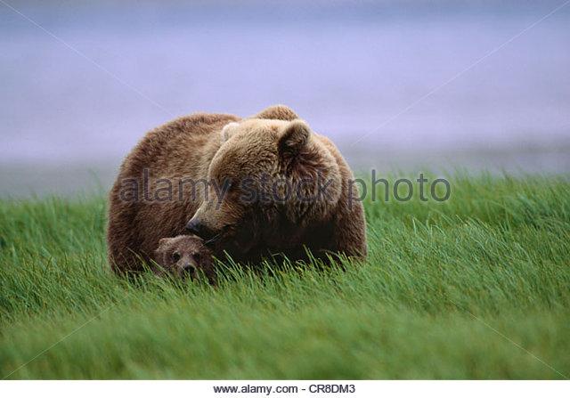 Brown Bear, McNeil River State Game Sanctuary, Alaska, USA - Stock Image