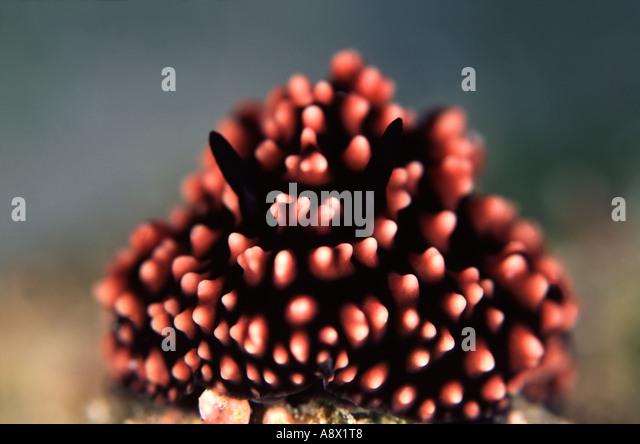 Phyllidia pustulosa - Stock Image