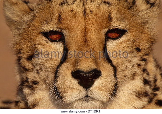 Namibia Cheetah Acinonyx jubatus Namibia - Stock-Bilder