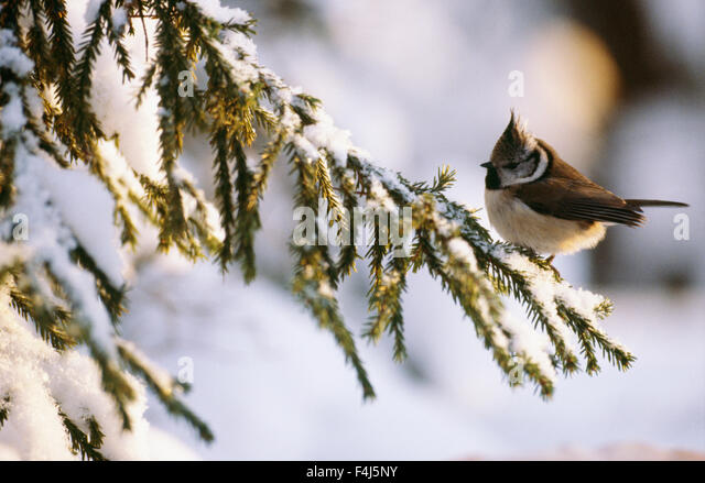 branch color image conifer crested tit day Finland no people outdoors Scandinavia small bird snow spruce tradition - Stock-Bilder