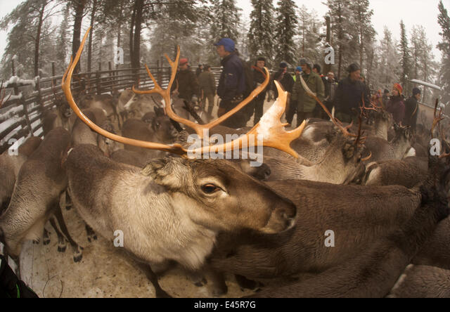 Reindeer (Rangifer tarandus) in enclosure, Lapland, Sweden, November 2009 - Stock Image