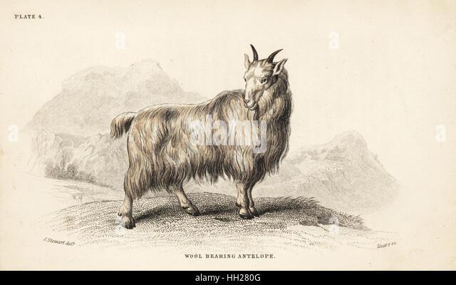 Rocky Mountain goat, Oreamnos americanus (wool-bearing antelope, Antilope lanigera). Handcoloured steel engraving - Stock Image