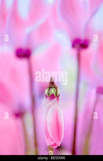 Close up of Pink Cyclaman flowers. Al's Nursery. Woodburn, Oregon - Stock Image