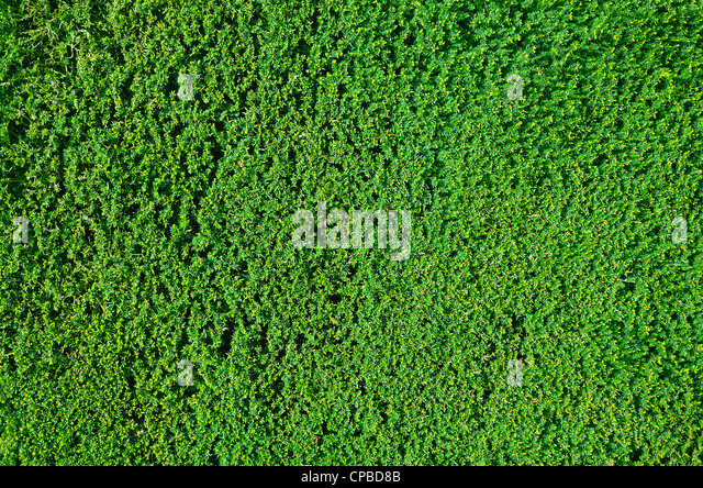 Tightly cropped border hedge texture or background - Stock Image
