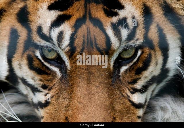 Sumatran tiger (Panthera tigris sumatrae) close-up of eyes, captive - Stock Image