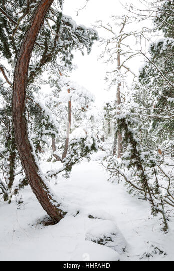 Norway spruce trees, Latin name Picea abies, covered in snow during winter in Sweden - Stock Image