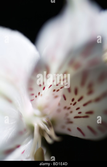 Alstroemeria lily, extreme close-up - Stock Image